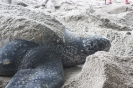 Female Leatherback